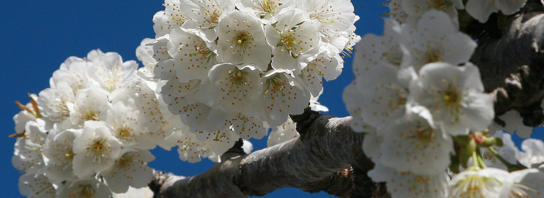 Flores de cerezo.Tornavacas,Valle del Jerte